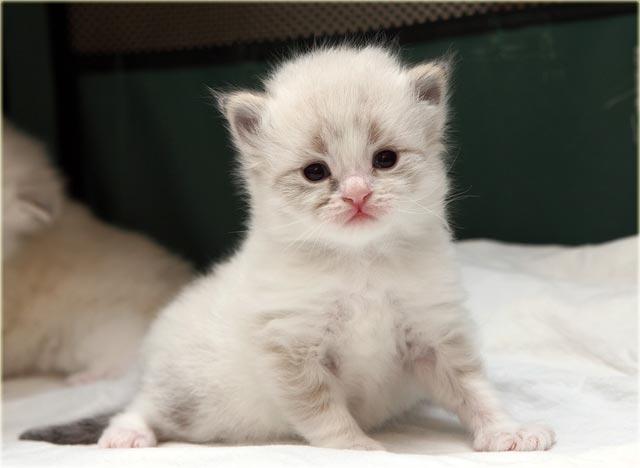 Невская кошка купить котенка