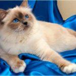 Невская кошка фото