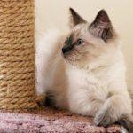 Невская маскарадная кошка окрасы фото