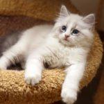 Котенок невская маскарадная фото