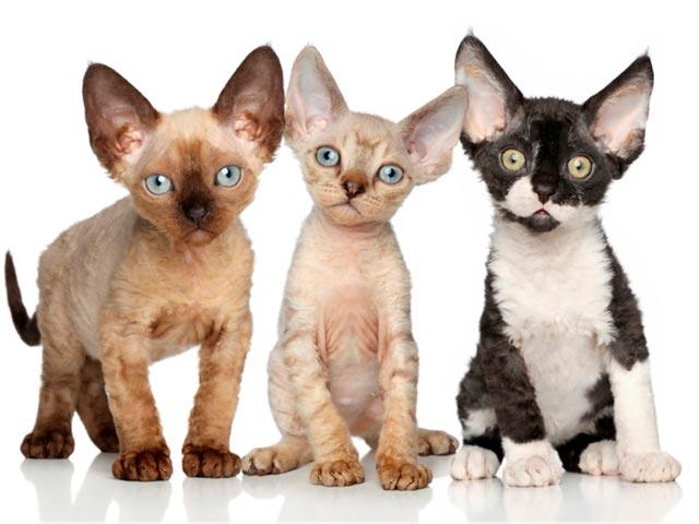 Девон-рекс порода кошек