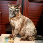 Бурманская кошка коричневого черепахового окраса фото