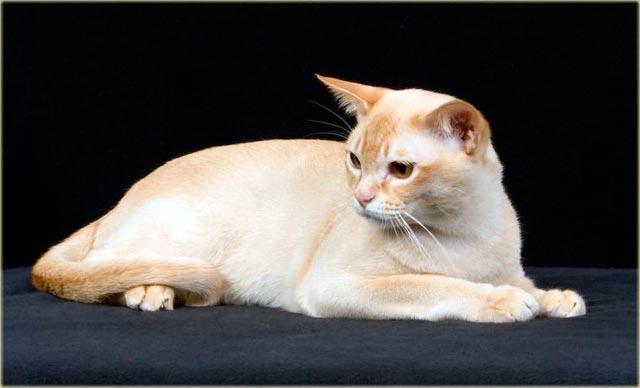 Бурманская кошка красного окраса фото
