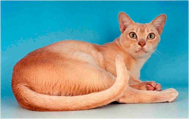 Бурманская кошка кремового окраса фото
