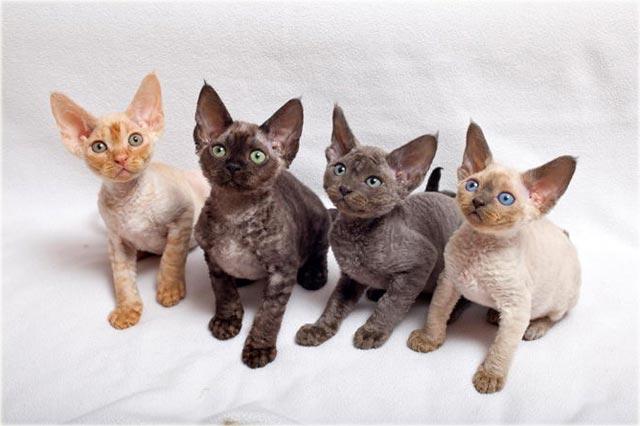 Девон-рекс котята фото