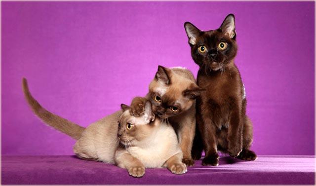 Бурманская кошка характер