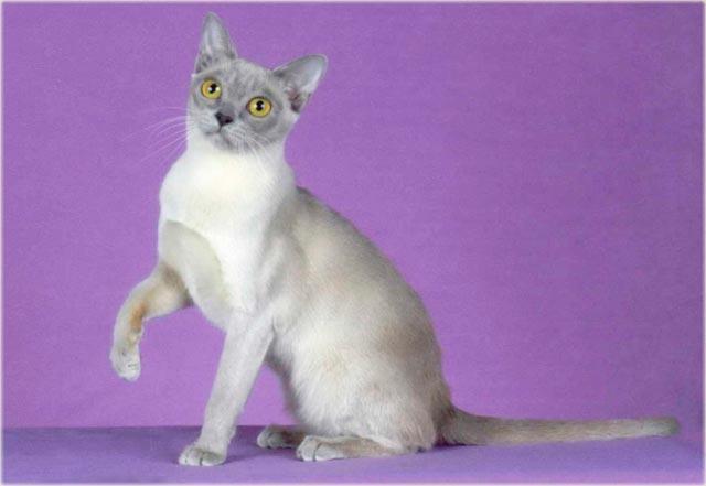 Бурманская кошка лилового окраса фото