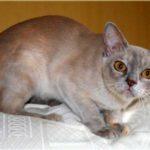 Бурманская кошка черепахового лилового окраса фото
