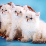 Котята невская маскарадная фото