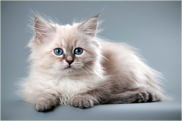 Невская маскарадная кошка окраса блю-пойнт