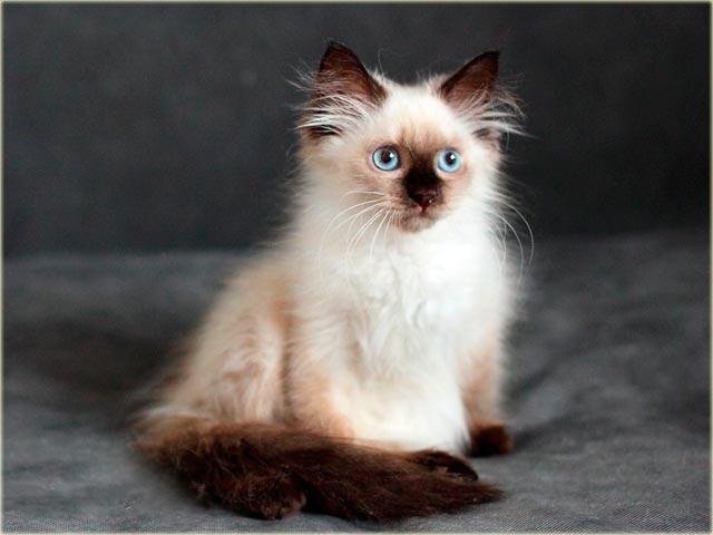 Невская маскарадная кошка окраса сил-пойнт