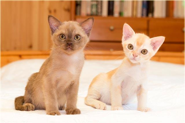 Бурманские котята выбрать и купить