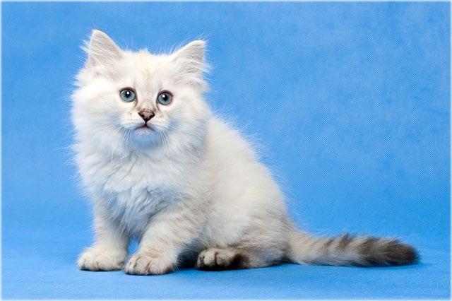 Невская маскарадная кошка окарас сил-табби-пойнт