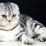 Порода кошек шотландская вислоухая фото