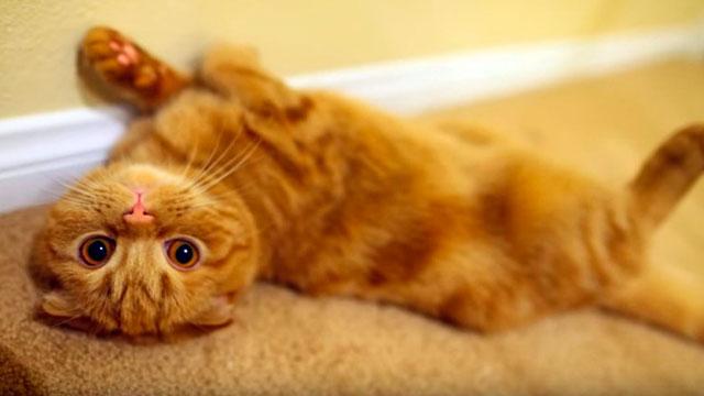 Шотландская вислоухая кошка болезни