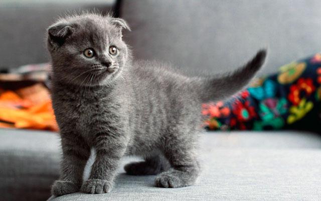 Шотландская вислоухая кошка котенок