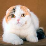 Шотландская вислоухая кошка девочка