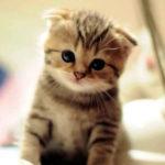 Шотландский вислоухий котенок фото