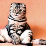 Шотландские вислоухие коты кошки