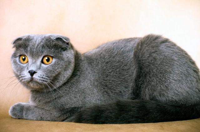 Шотландская вислоухая кошка описание породы