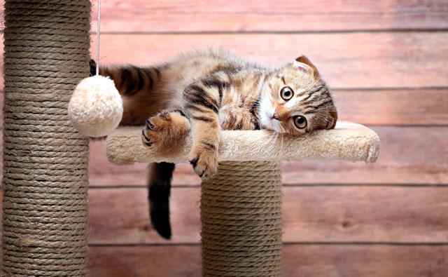 Шотландский вислоухий котенок как выбрать и купить