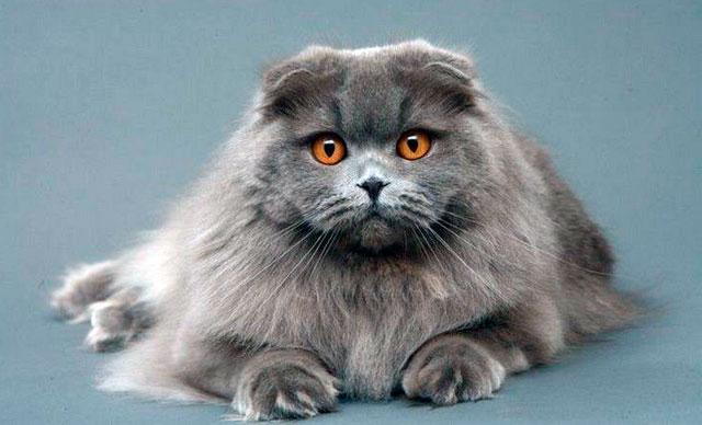 Хайленд-фолд - шотландская вислоухая длинношерстная кошка