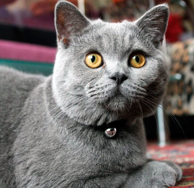 Скоттиш-страйт шотландская порода с прямостоячими ушами